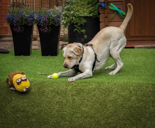 Labrador and Minion play time