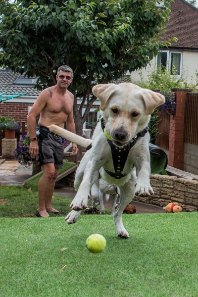 Labrador playing